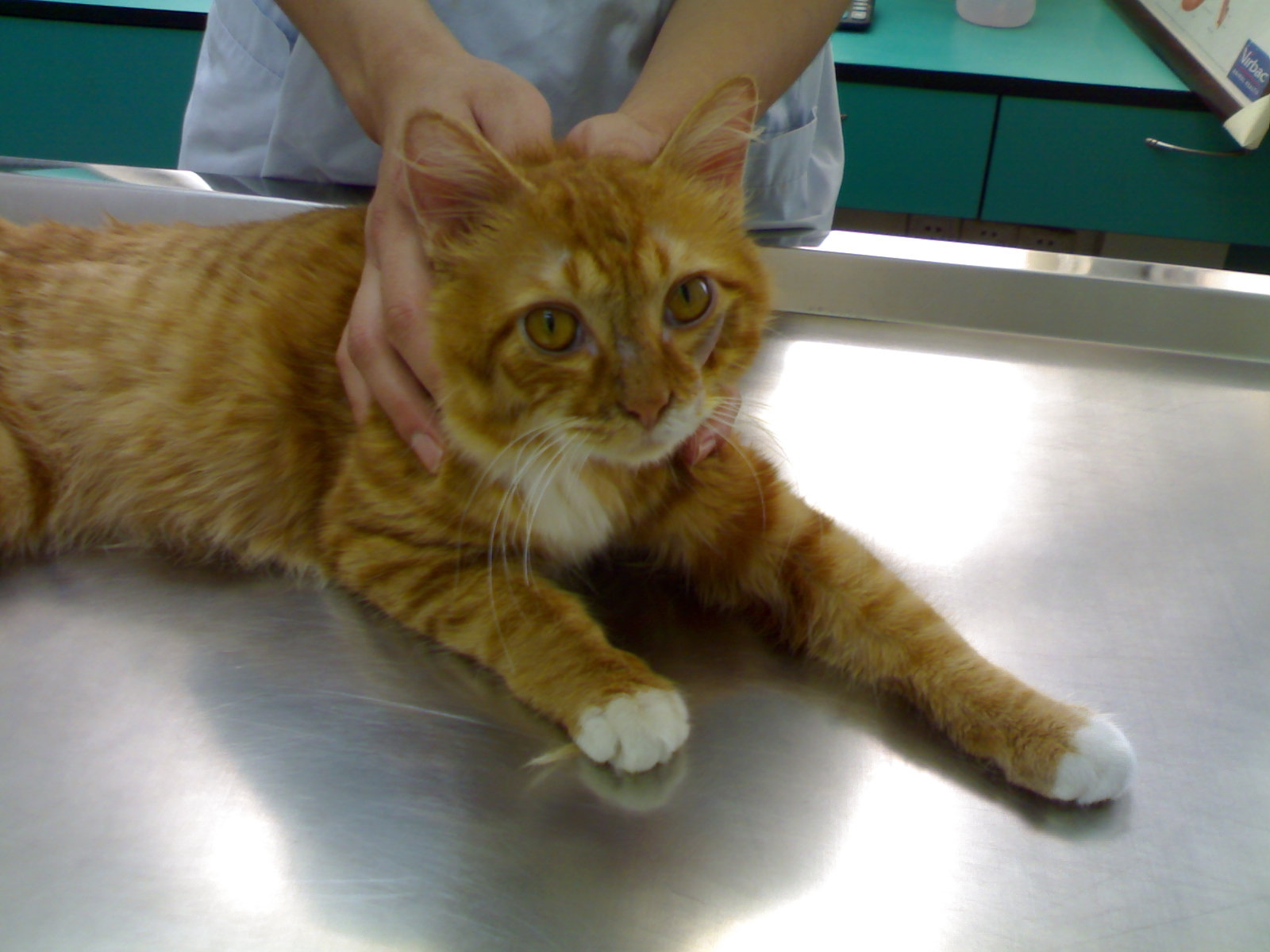 how to get a stray cat to the vet